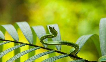 111024_BO_Leaf-nosed_Snake_08